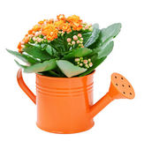 Kalanchoe flower — Foto Stock
