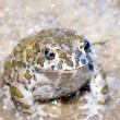 Toad in the rain — Stock Photo