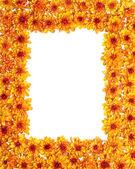 Border of chrysanthemum — Stock Photo