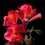 Alstremeria kwiat — Zdjęcie stockowe