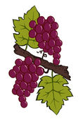 Painted grapes and leaves on a branch — Stock Vector