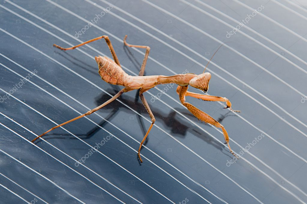 Brown mantis closeup — Stock Photo #8840867