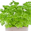 Royalty-Free Stock Photo: Parsley plant in a flowerpot