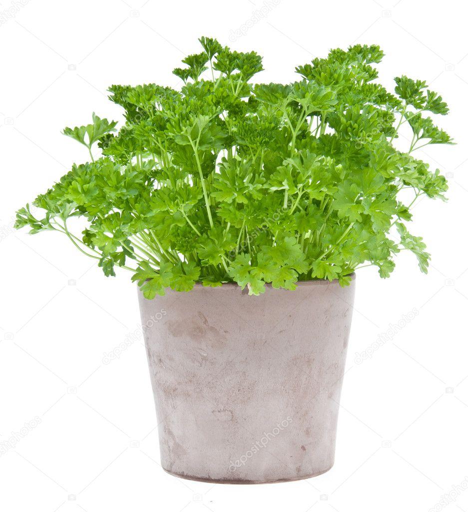 persil plante dans un pot de fleurs photo 10710520. Black Bedroom Furniture Sets. Home Design Ideas