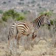 Zebras in the African savannah — Stock Photo