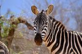 Zebra in the African savannah — Stock Photo
