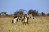 Zebras in the African savannah — Stock Photo