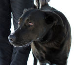 Black dog — Foto de Stock
