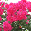 Stock Photo: Brightly pink roses
