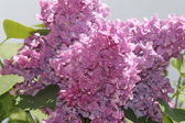 Hermosa lila — Foto de Stock