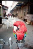 Papagaio — Fotografia Stock