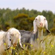 Stock Photo: Sheep grazing
