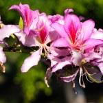 Bauhinia purpurea tree blossoming in Israel — Stock Photo #10281138