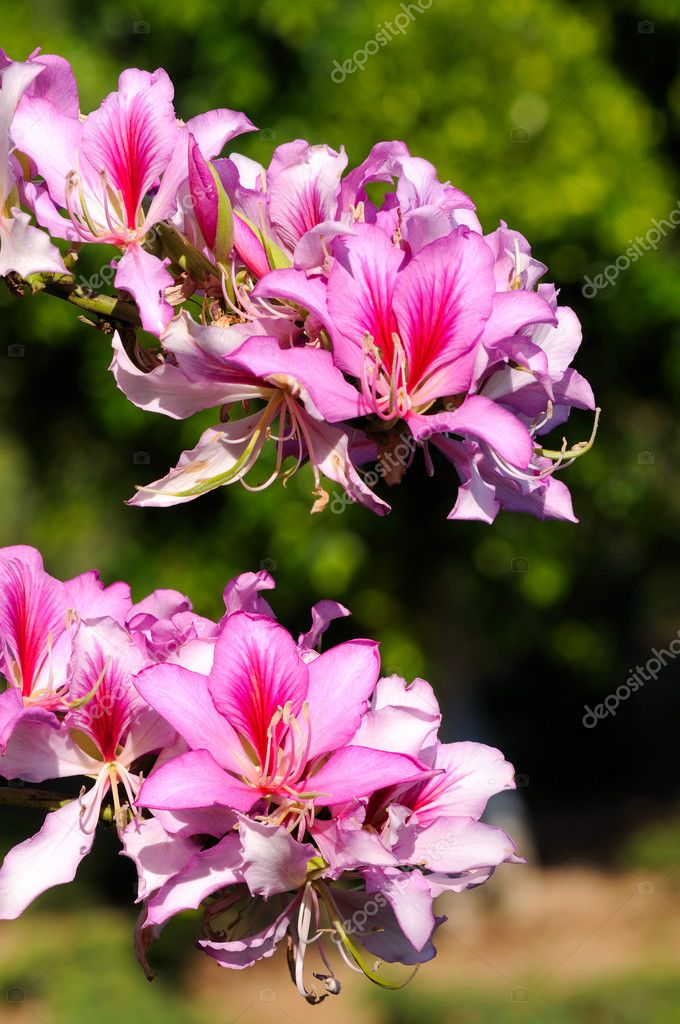 Bauhinia purpurea tree blossoming in Israel — Stock Photo #10281207