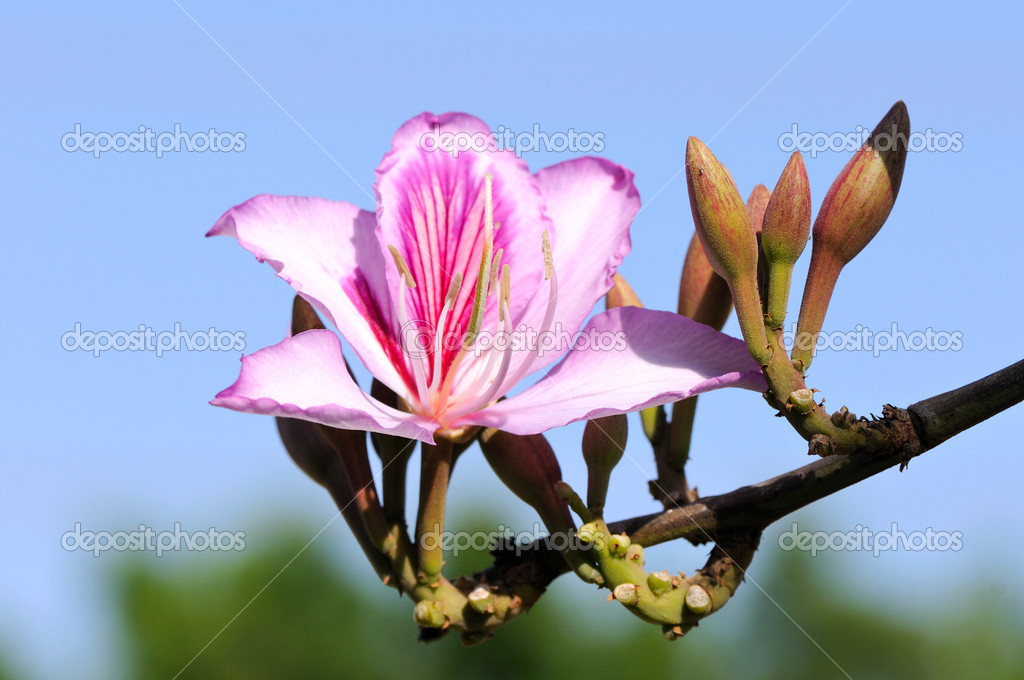 Bauhinia purpurea tree blossoming in Israel — Stock Photo #10281301