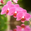 Orchid — Stock Photo #8373543