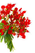 Poinciana — Stock Photo