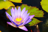 Water lily — Photo