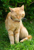 Rödbrun katt — Stockfoto