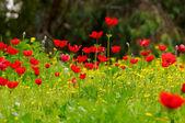 Anemones field — Stock Photo