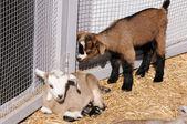 Goatling — Stock fotografie