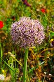 Tel awiw czosnek kwiat — Zdjęcie stockowe
