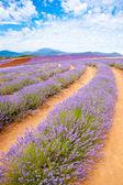 Lavender farm — Stock Photo