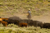 Cowboy and Cattle — Stock Photo