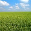 Wheat's field — Stock Photo