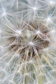 Close up of dandelion (vertical shot) — Stockfoto