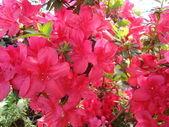 Flowering azalea Rhododendron — Stock Photo