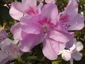 Blooming azaleas — Stock Photo