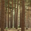 Scot's Pine Forest — Stock Photo