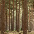 Scot's Pine Forest — Stock Photo #9726682