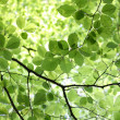 Green Beech Leaves in Spring — Stock Photo