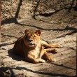 Stock Photo: Lion basking in the sun