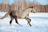 Galloping gray horse — Stock Photo
