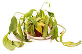 Wilted pot houseplant on white — Stock Photo