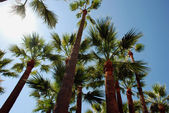 Palmtrees on the beach in Cannes — Stock Photo