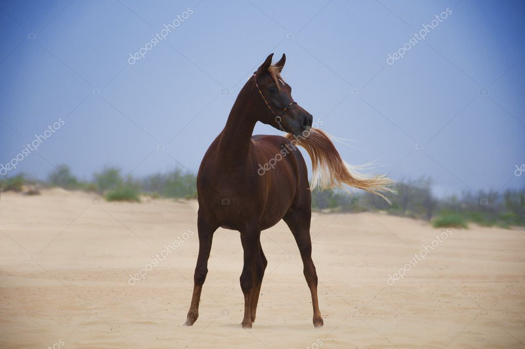 Purebred bay straight egyptian horse — Stock Photo #10648793