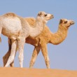 Two baby camels walking in desert — Stock Photo