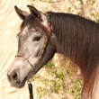 Grey arabian horse - Stock Photo
