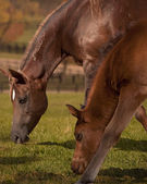 Two bay arabians grazing — Stock Photo