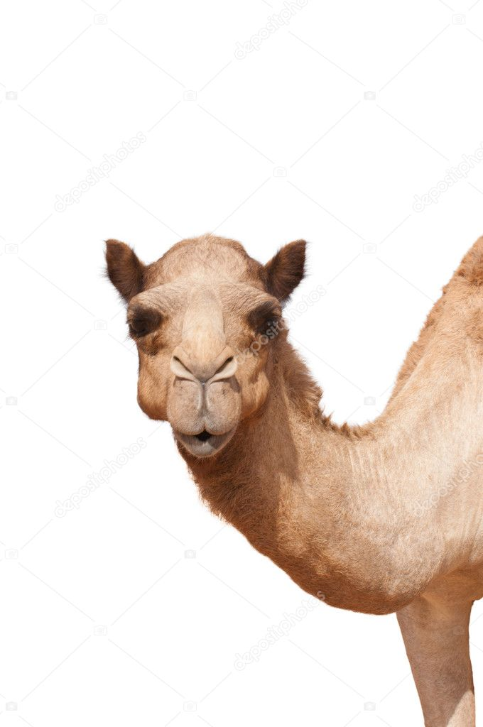 Isolated camel head and neck looking straight to the camera — Stock Photo #8445957