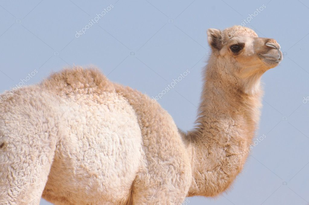 A baby single hump camel in desert — Stock Photo #8446112