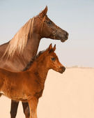 Mare and foal arabian horses — Stock Photo