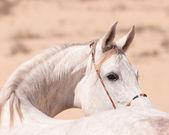 Portrait of white arabian horse — Stock Photo