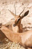 Baby oryx — Stockfoto