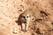 Suricate or Meerkat — Stock Photo