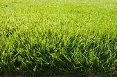 Grass field texture — Stock Photo
